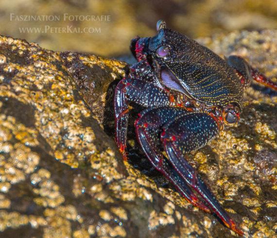 Teneriffa - Puerto de la Cruz - Playa Jardin - Mole - Krabbe - Rote Klippenkrabbe - Rote Felsenkrabbe