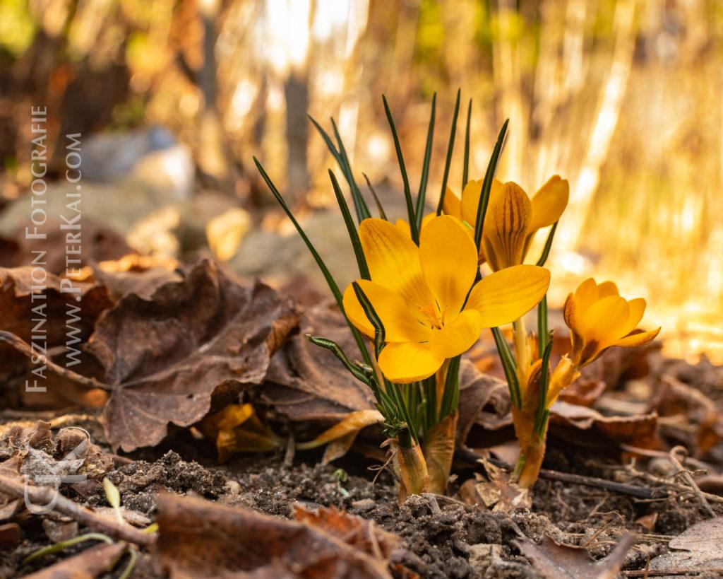 Frühling - Frühlingserwachen - Frühjahrsblüher - Krokusse