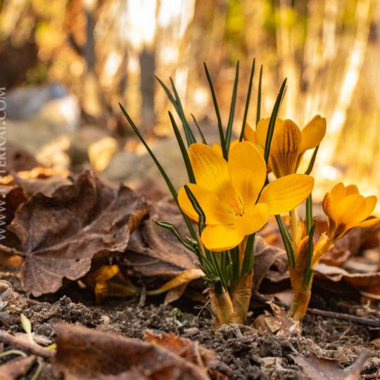 Frühling - Frühlingserwachen - Frühjahrsblüher - Krokuse