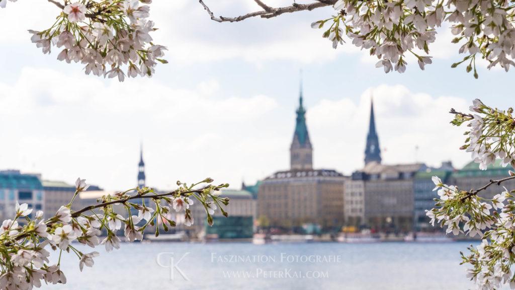 Hamburg - Binnenalster - unter der Lombardsbrücke zur Kirschblüte