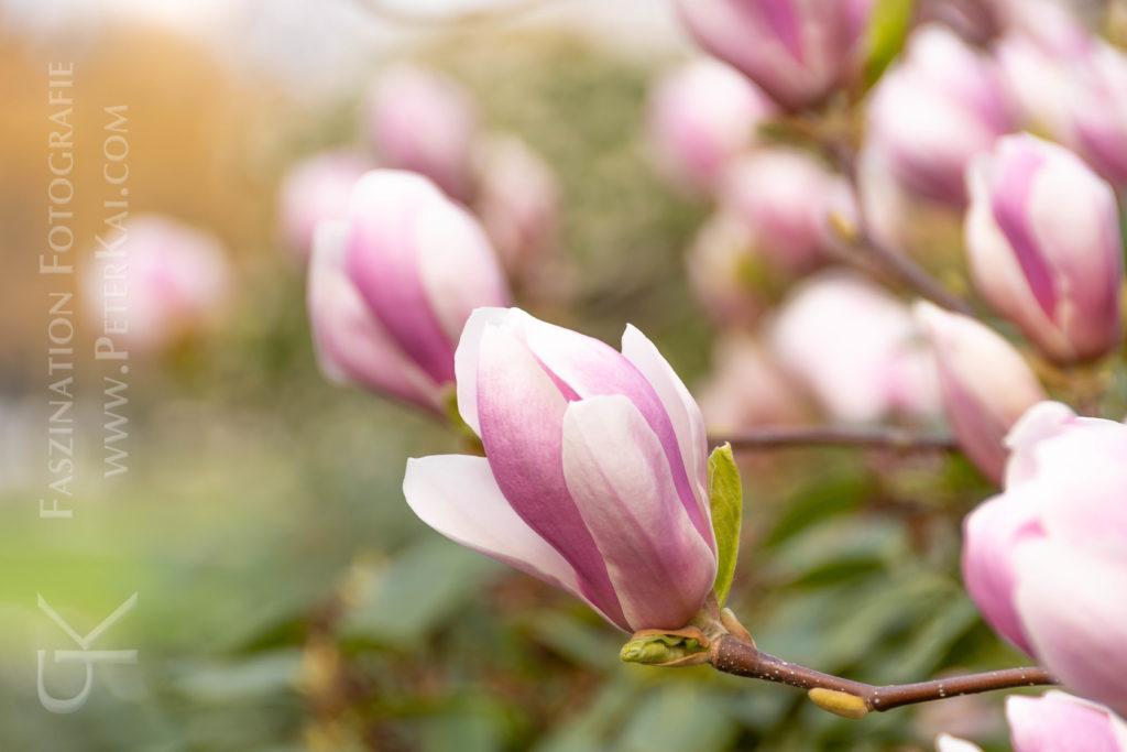 Hamburg - Planten un Blomen - Magnolie - Tulpenbaum