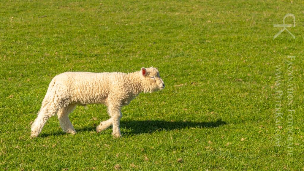 Schafe auf dem Elbdeich in Schleswig Holstein