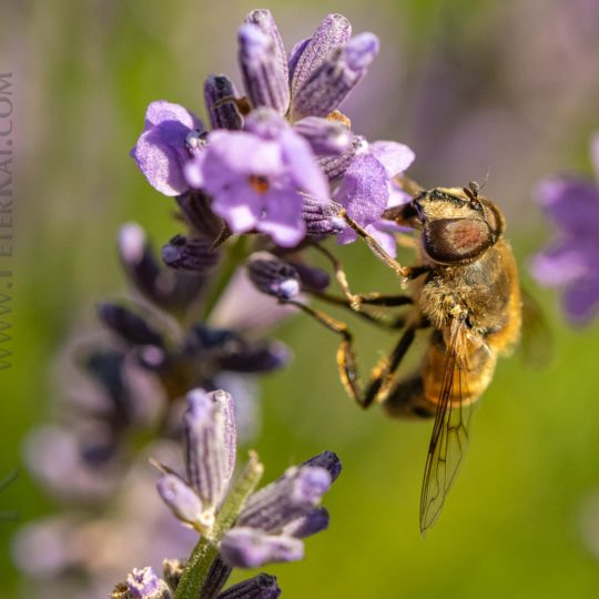 Harz - Kräuterpark Altenau - Biene auf Lavendel